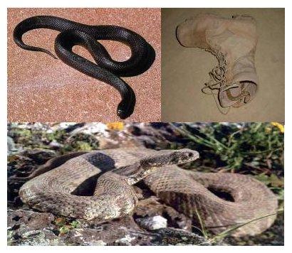Framed AmFirst WILD snakes